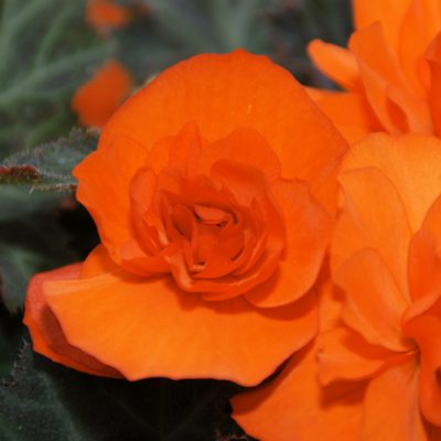Ampelbegonie Arcada Orange Rieger