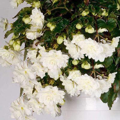 Cascading-Begonia