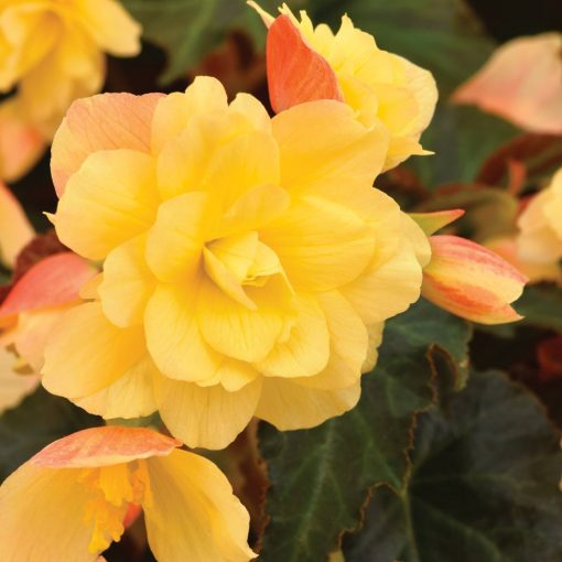 Begonia RiseUp Aloha Gold