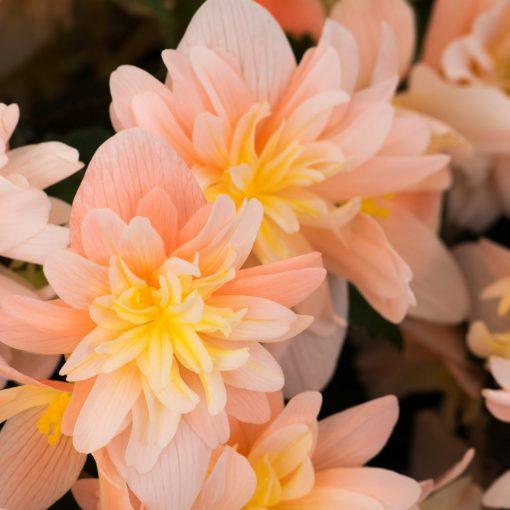 Begonia RiseUp Sansibel Peach