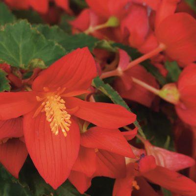 Begonia ShineBright Red