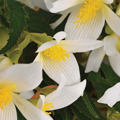 Begonia ShineBright White