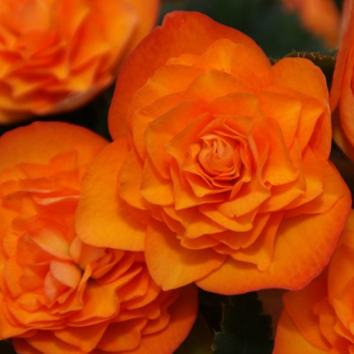 Begonien Orangedrops Rieger