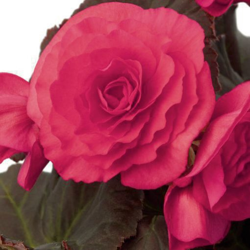 Begonia Solenia Dark Pink