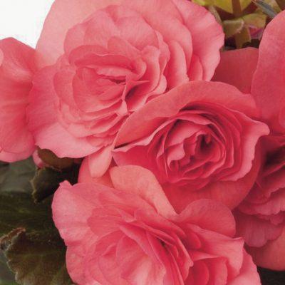 Begonia Solenia Light Pink