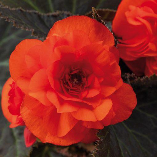 Begonie Mahogany-Orange