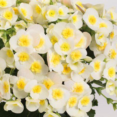 Begonie Valentino-white