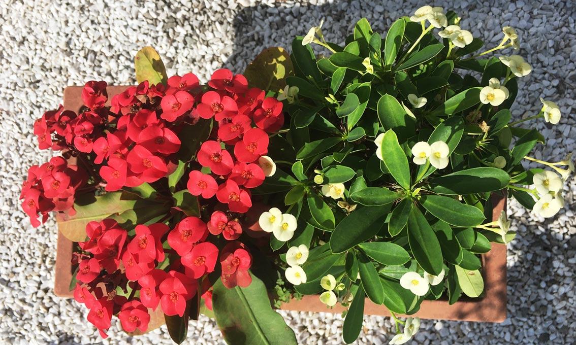 Hot-Milii-euphorbia-weiße blume sonnig, Pflanzen für Friedhofsgärtner, friedhofs blumen sommer, bienenfreundliche Pflanzen für trockene, sonnige Standorte