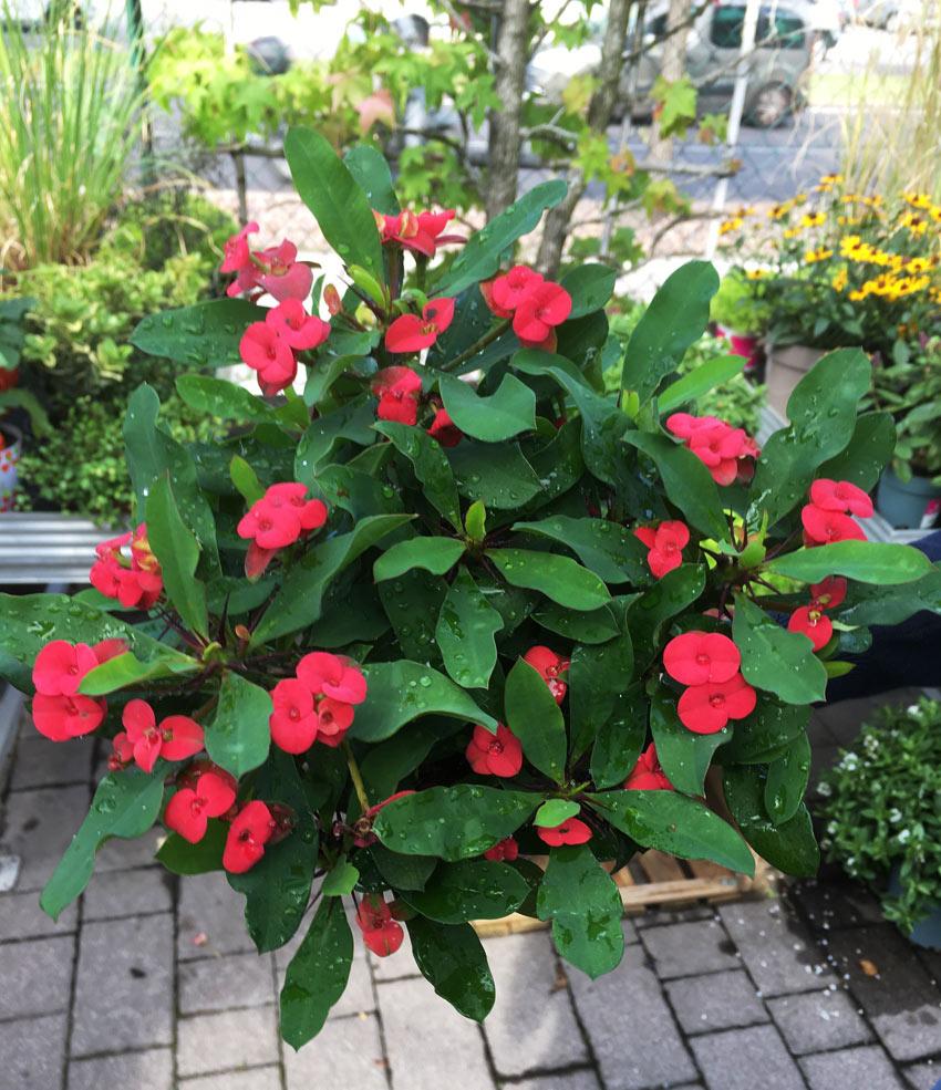 Hot-Milii-euphorbia-blütenfarben: creme/ rot / pink-rosa Blume, insektenfreundliche Pflanze für Gärtnereien, Pflanzenhandel, mit Blüte oder bewurzelte Stächlinge