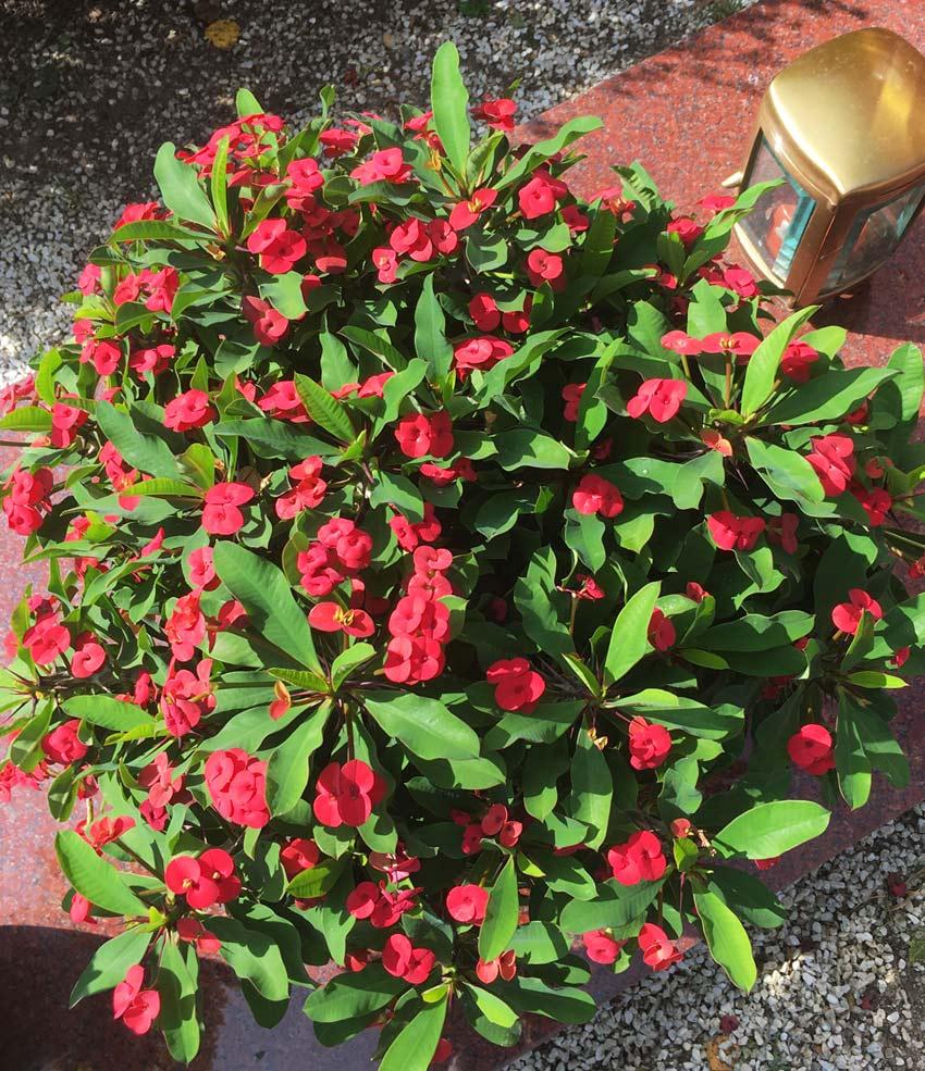 Hot-Milii-rote euphorbia-blume, anspruchslose, unempfindliche pflanzen für den garten, balkon